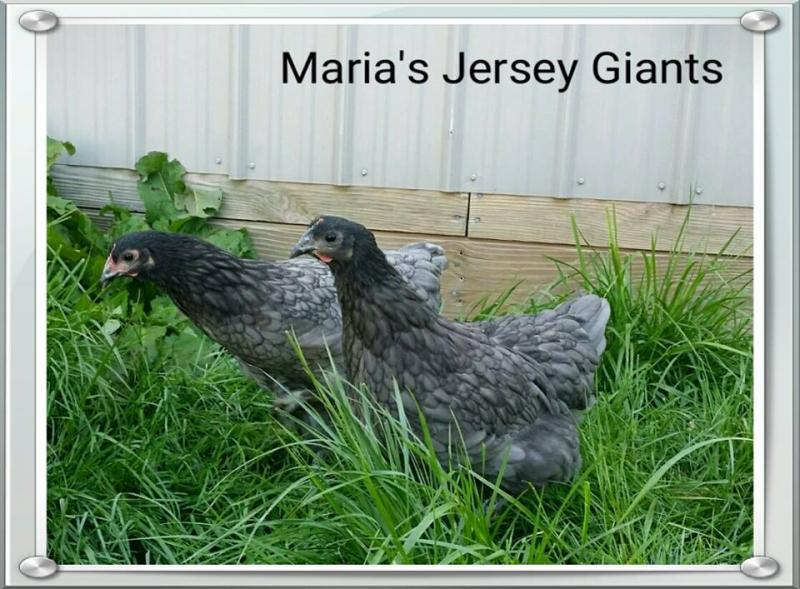 2 Blue Jersey Giant pullets from our 1/15/15 hatch